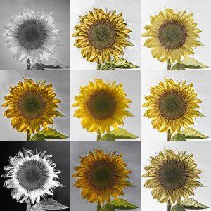Hannes Heumann - Sonnenblumen()