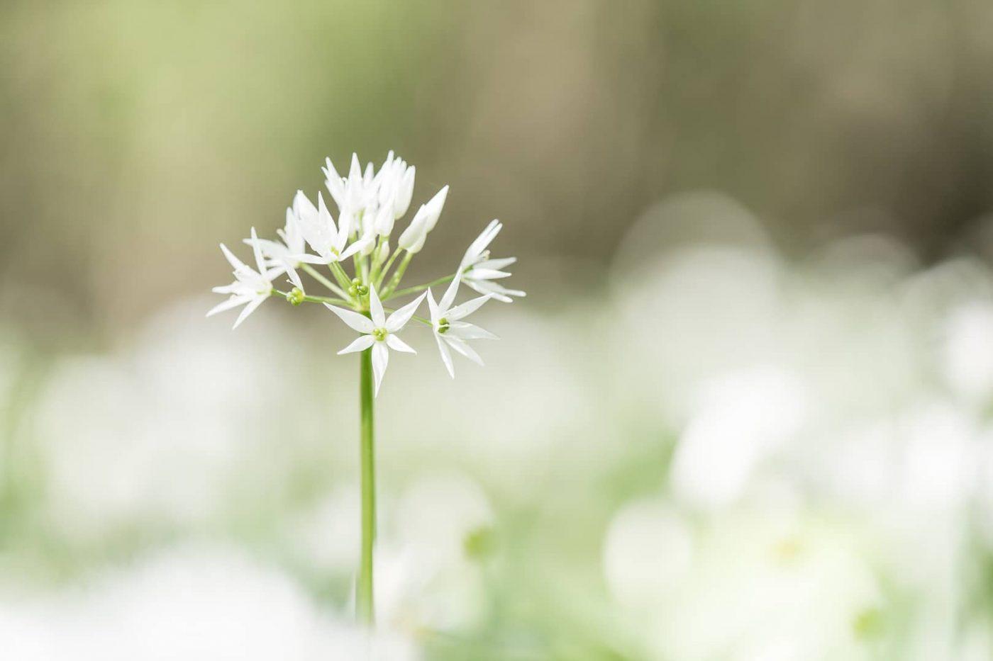 Bärlauchblüte - von Torsten Christ