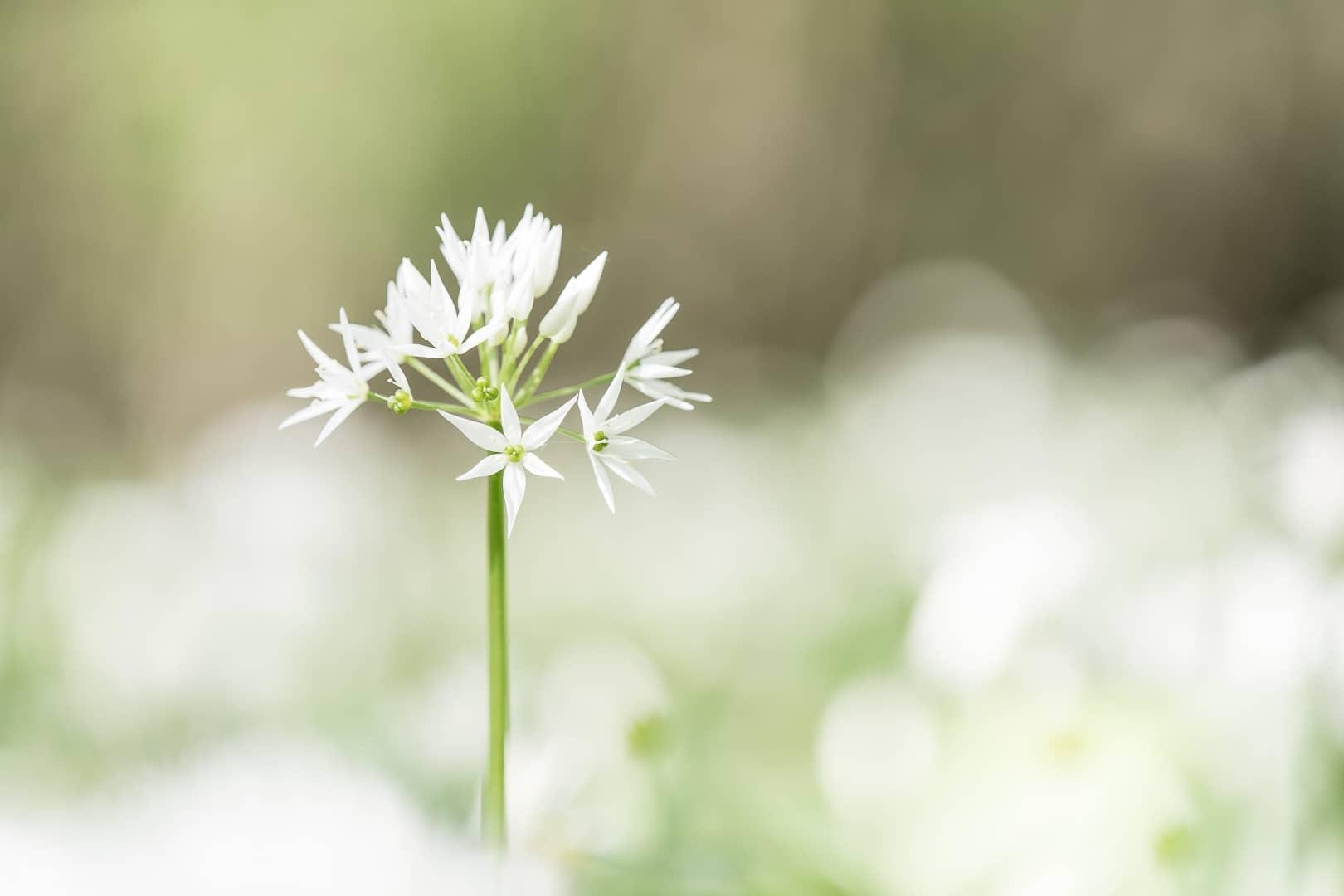 Bärlauchblüte – von Torsten Christ