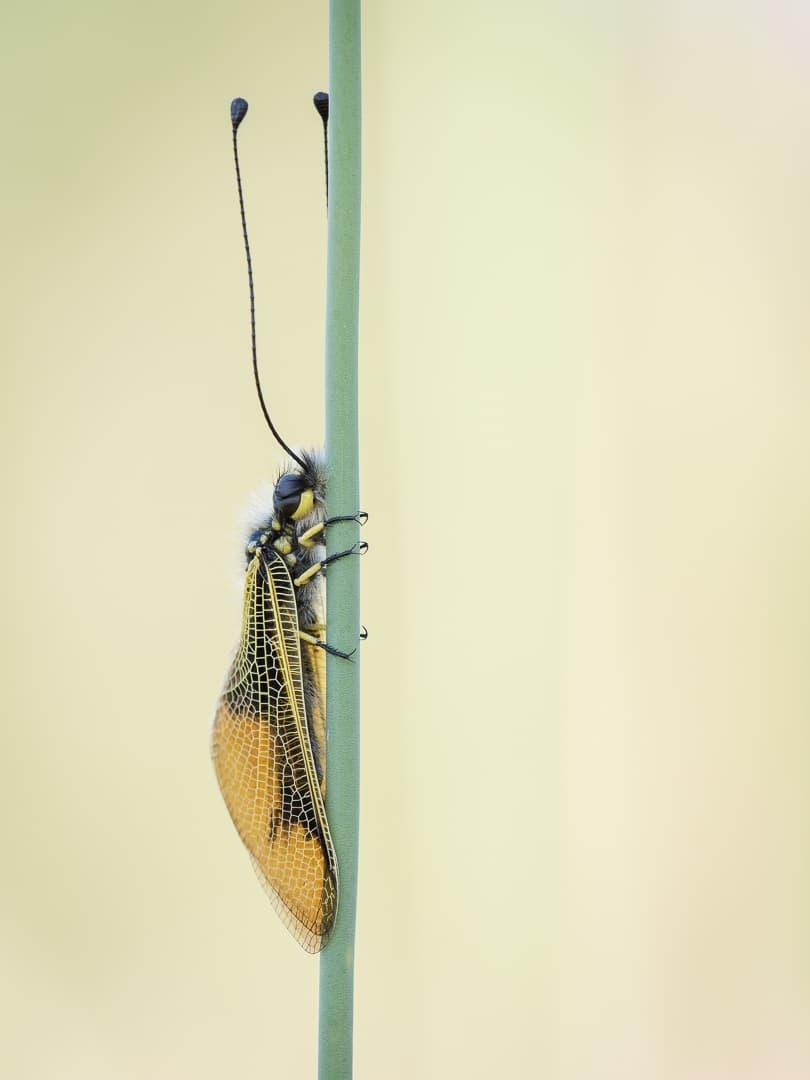 langfühliger Schmetterlingshaft – von Torsten Christ
