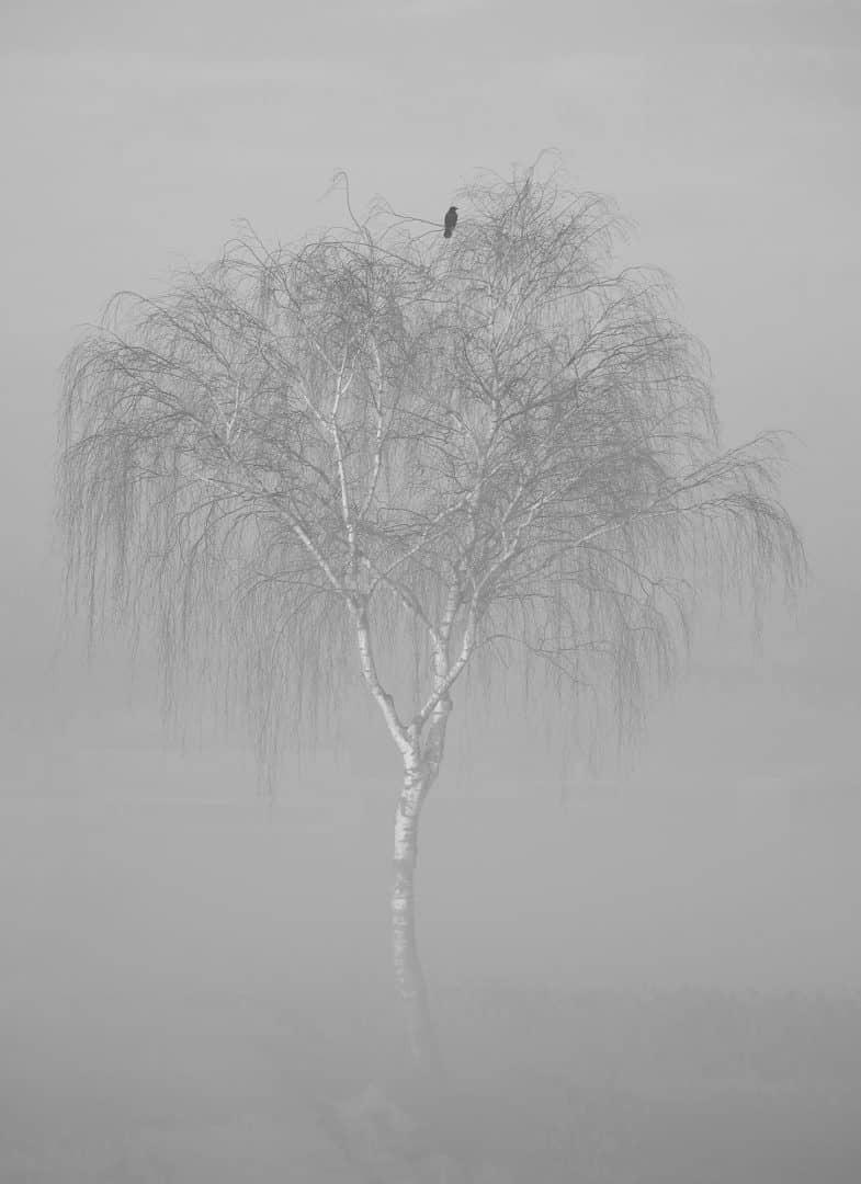 Krähe im Nebel – von Günther Holzinger